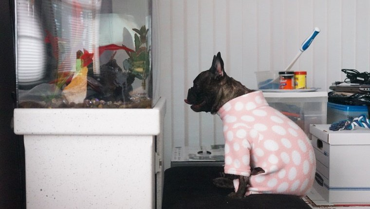 A French Bulldog in pink polka-dot pajamas sits in front of a fish tank.