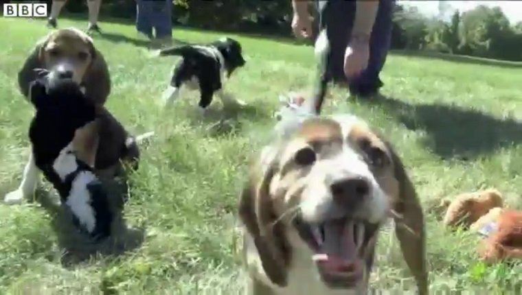 Several Beagle and Beagle/Spaniel mixes play in the grass together.