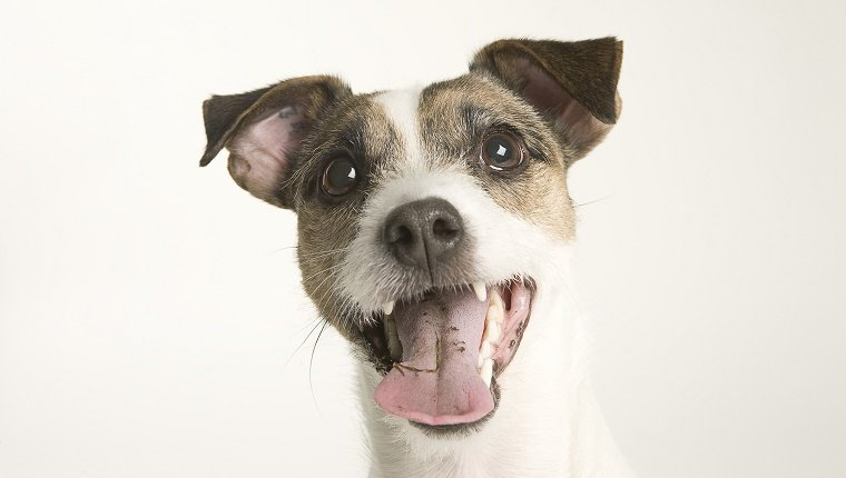A Parson Terrier portrait in front of a white background. The terrier's mouth is open and his tongue hangs out.