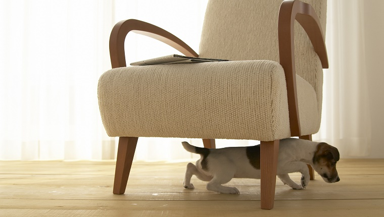 A Jack Russell Terrier climbs under an armchair.