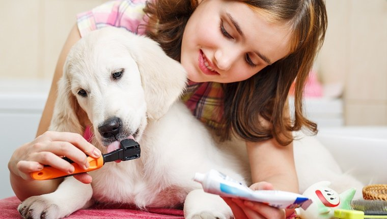 A young lady cleans her Labrador's teeth with a brush and special toothpaste.
