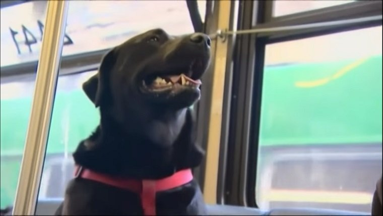 A black lab mix sits on a public bus like a normal commuter.