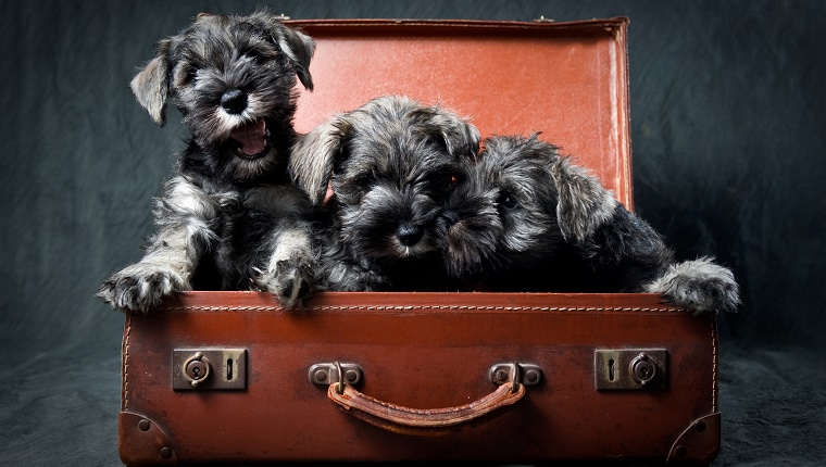 Three Miniature Schnauzer Puppies in Old Suitcase