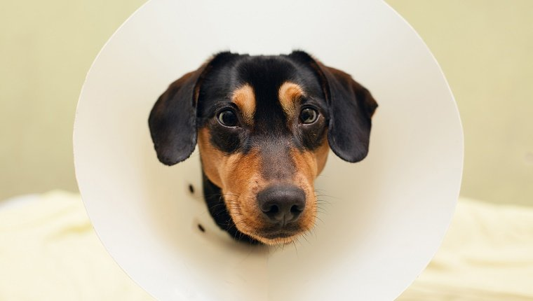 A dog has a cone collar around his neck.