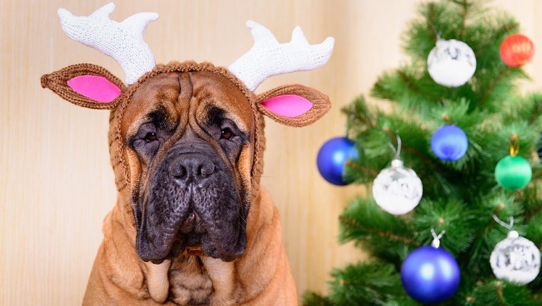 A Mastiff with reindeer antlers sits next to a Christmas tree.