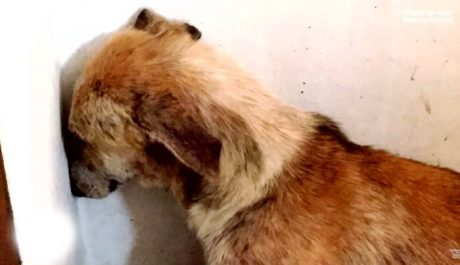Abused Dog Sits In Corner Staring At Wall All Day Long After Being Rescued