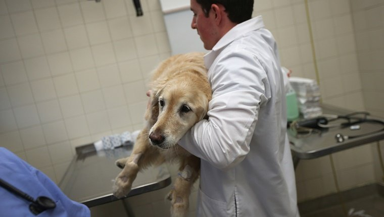 A Labrador is held by a veterinarian.