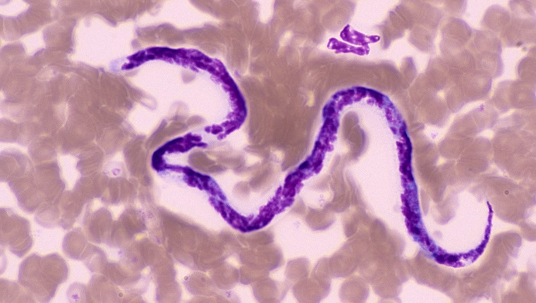 DOG HEART WORM. DIROFILARIA IMMITI.S MICROFILARIAE. BLOOD SMEAR, 250X (SI) SIM TO 96705