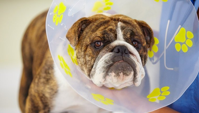 A Bulldog with a cone around his neck