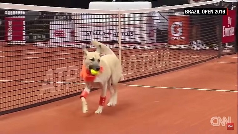 A light colored dog with a bandana retrieves a ball from the court.