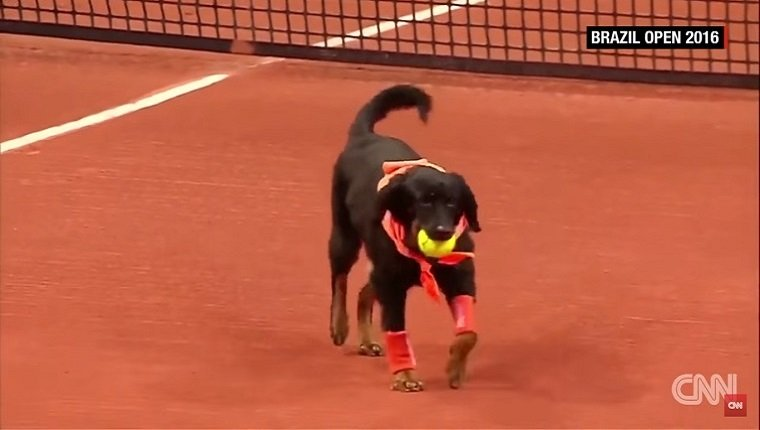 A black dog with a bandana retrieves a tennis ball on the court.