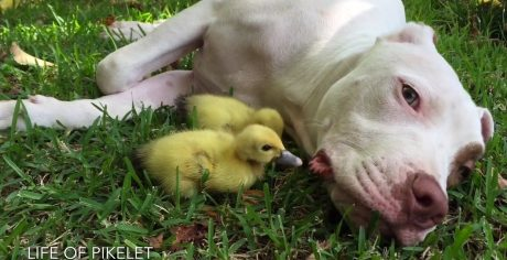 Rescue Pit Bull Puppy And Baby Ducklings [VIDEO]