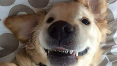 Adorable Golden Retriever Puppy Gets Braces On His Teeth And Goes Viral