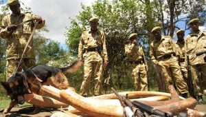Dogs Protect Elephants By Busting Poachers In Kenya