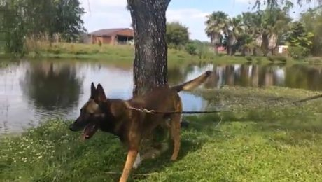 Retired K-9 Police Dog Fights Off Alligator That Bit Him