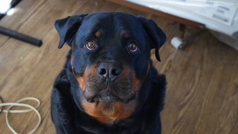 High Angle Portrait Of Black Rottweiler