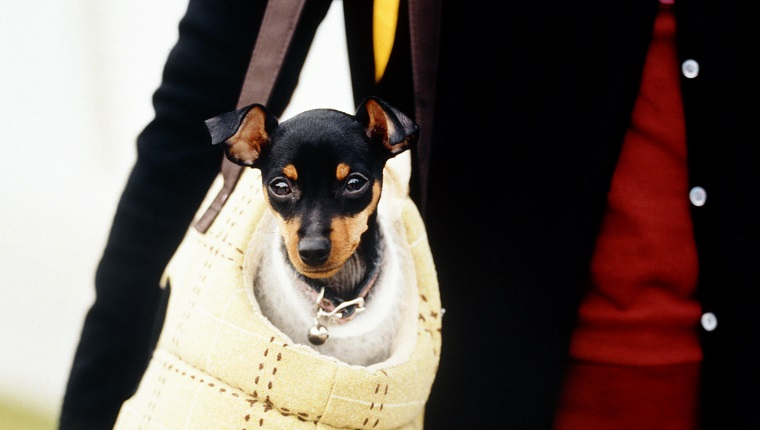 Top 32 Small Dogs Who Make Good Apartment Dogs - Dogtime