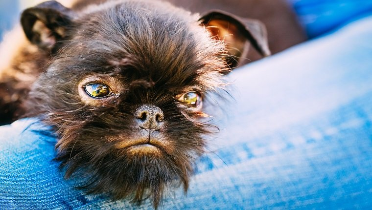 Top 32 Small Dogs Who Make Good Apartment Dogs Dogtime