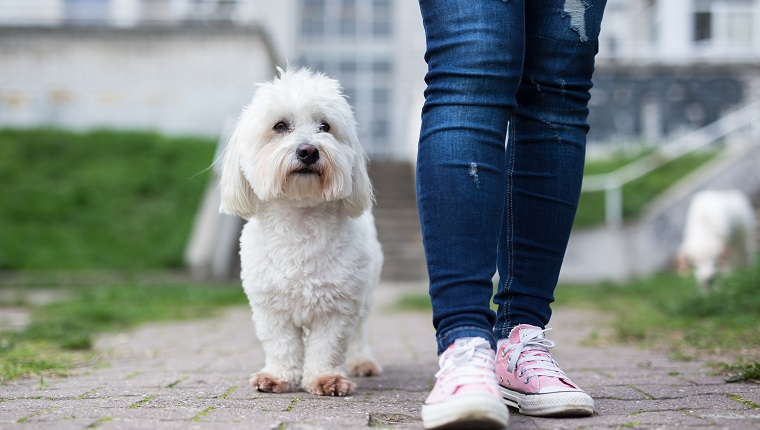 Girl walking with white fluffy dog