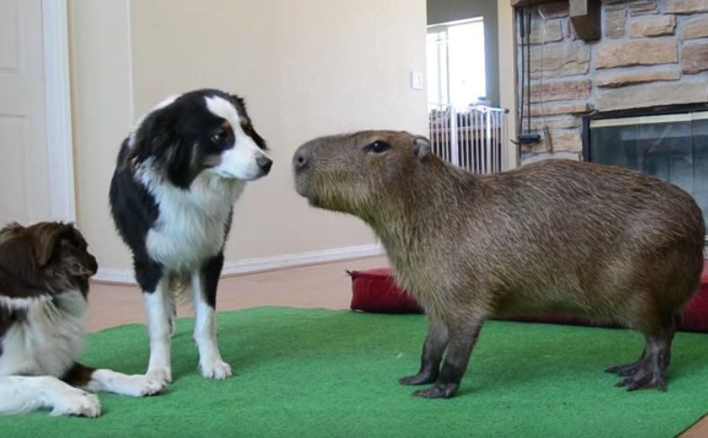 Joe Joe The Capybara And Zoe Dog Video Dogtime