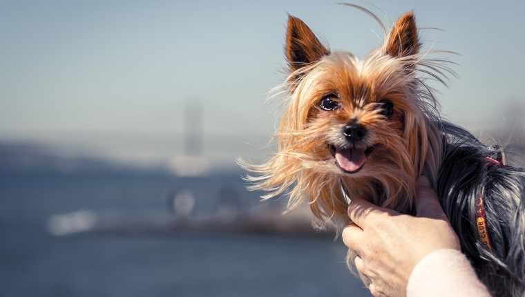 """The main subject is a Yorkshire Terrier being held by his owner, in the blurred background we can distinguish the river and bridge """"Vasco da Gama"""" in Lisbon - Portugal."""