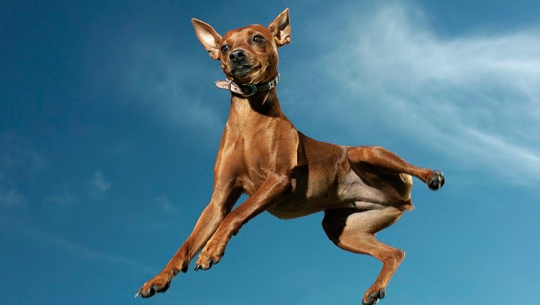 A dog jumps high in the air