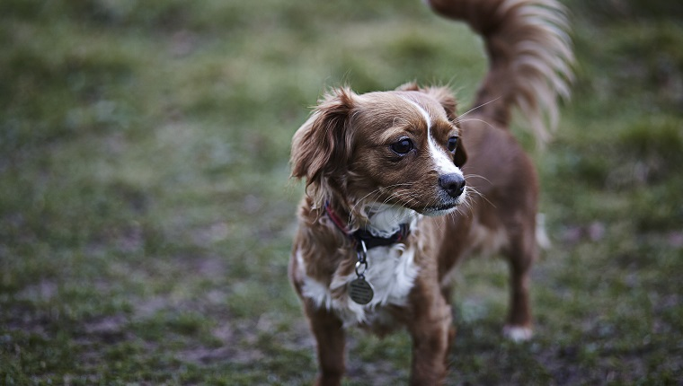 A portrait of a small brown and white cross breed dog is on a walk in a field on an overcast day.