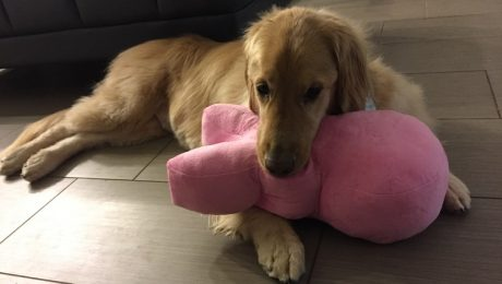 Stanley The Mentally Challenged Golden Retriever Wins The Internet's Heart