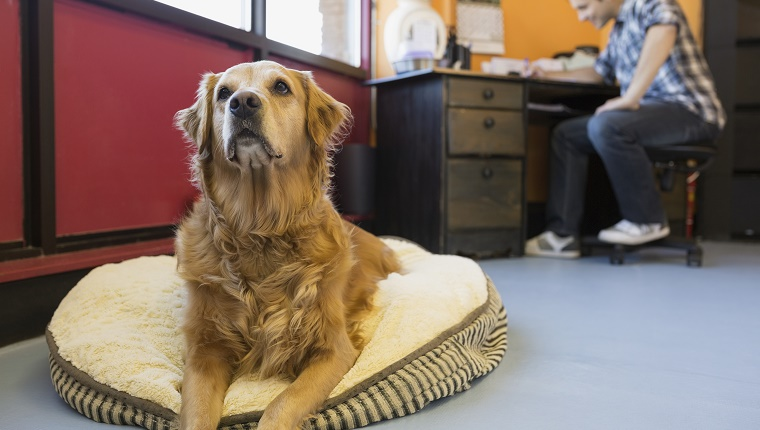 Golden Retriever on bed in dog daycare office
