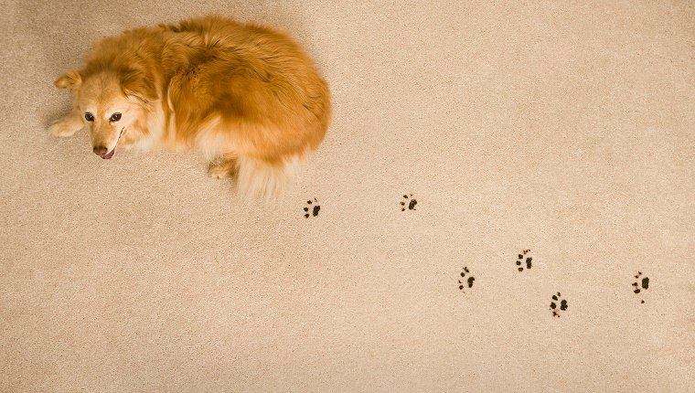 A dog leaves paw prints on the carpet.