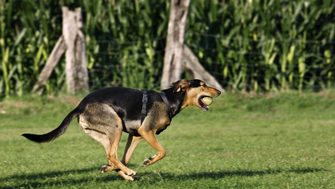 mixed breed dog running with ball in mouth