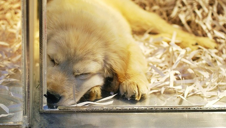 Golden retriever puppy in pet shop window.