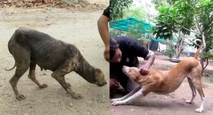 Street Dog With Severe Mange Makes Amazing Recovery