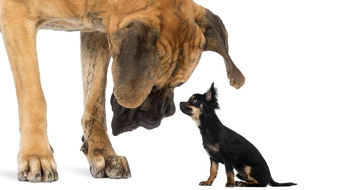 large dog looking down at small chihuahua