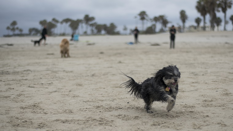 Havanese dog running at dog beach, San Diego, California.