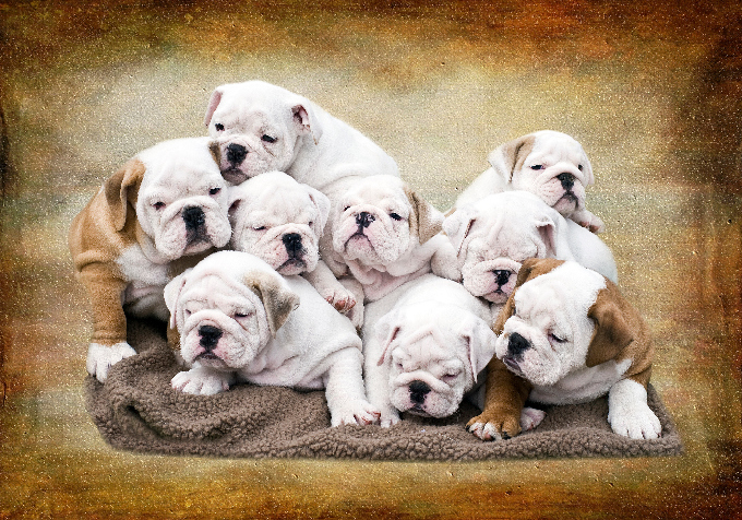 English Bulldog Puppies Dogtime