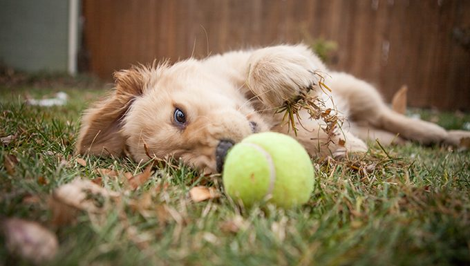 Puppy reaches for tennis ball