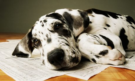 Everything Great Dane Puppies – Adorable Pics!