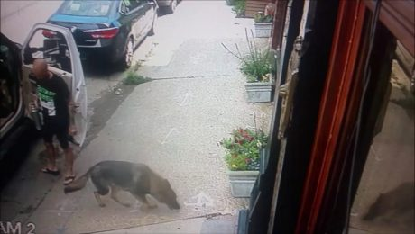 Thieves Break Window And Accidentally Save German Shepherd Dog From Hot Truck