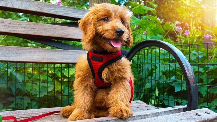 Minature Goldendoodle puppy sitting on city Park bench. Puppy is 3 months old.