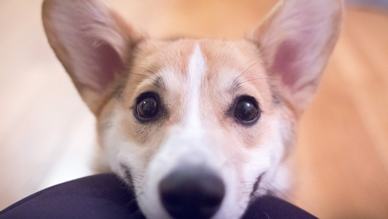 Pembroke Welsh Corgi puppy smiling