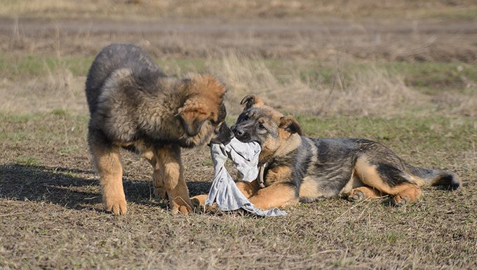 german shepherd puppies playing