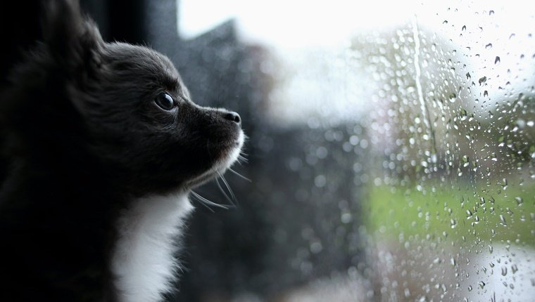 Chihuahua puppy looking through window