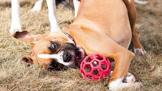 Boxer puppy playing with ball