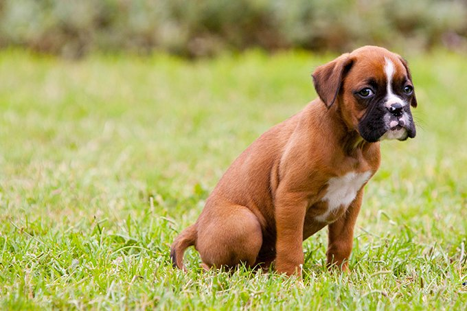 American Boxer Dog Names