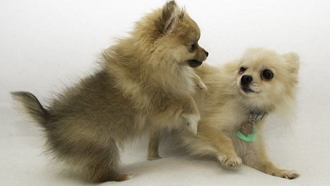 pom puppies playing