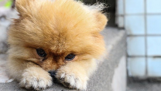 pom puppy with head in paws