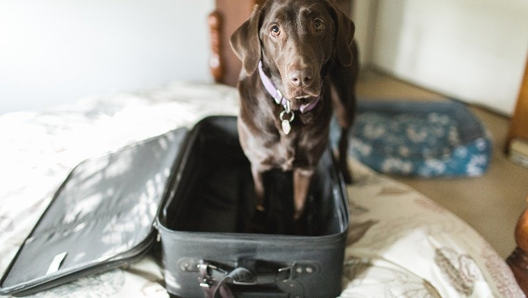 A Chocolate Labrador Retriever dog stands in an empty suitcase and looks morosely up at the camera.