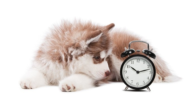 Portrait of little cute brown puppy of Siberian husky dog with clock isolated