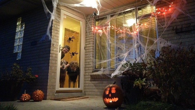 Woman and golden retrievers looking out front glass door at a home decorated with orange lights, spider webs and pumpkins for halloween.